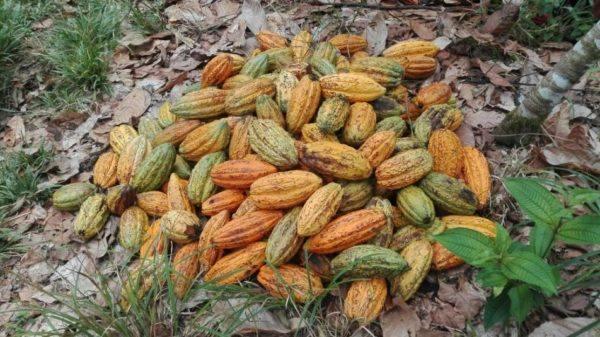 Tibito Putumayo - cacao comun de coprocaguamuez