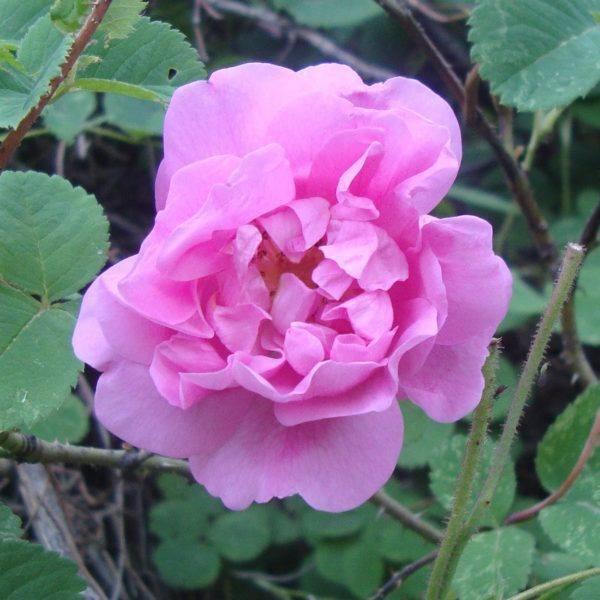 Damascene roos - commons wikimedia