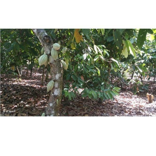 Morin - Ivory coast - KOADODUE - cacao tree