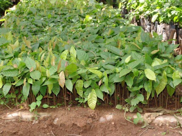 Original Beans Esmeraldas - 7