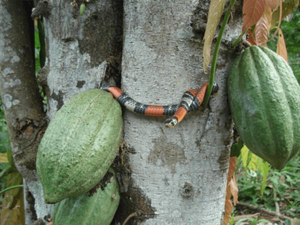 Original Beans Piura - snake
