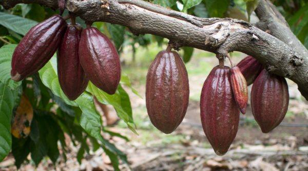 Soklet - cacao pods