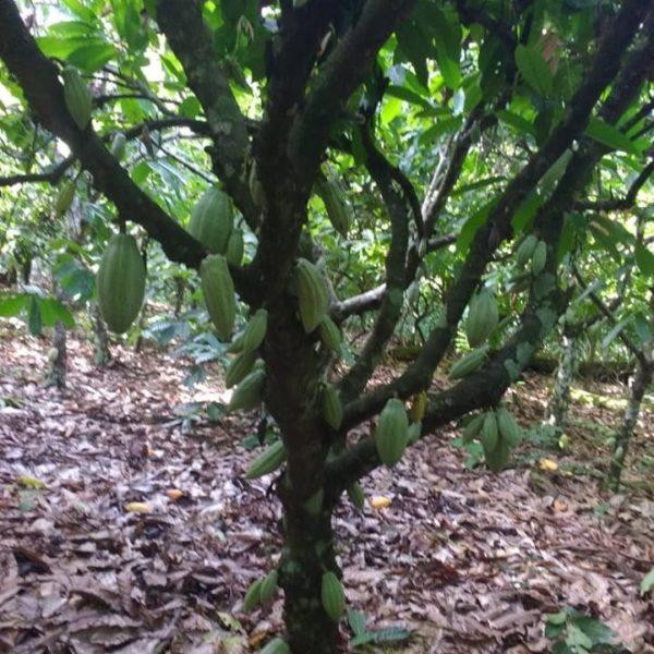 Georgia Ramon Brasilien 73 - COOPAM Cacao tree