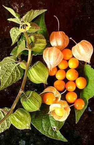 Kacau orange - golden berry