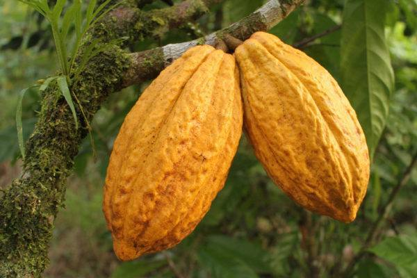 Original Beans Esmeraldas - true nacional