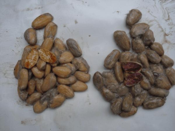 Original Beans Piura - Porcelana