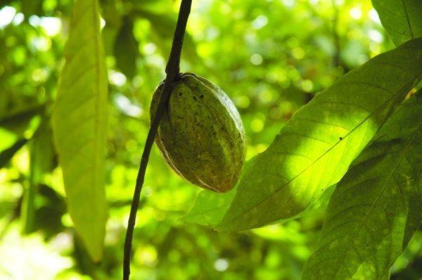 Original Beans Piura - White cacao fruit